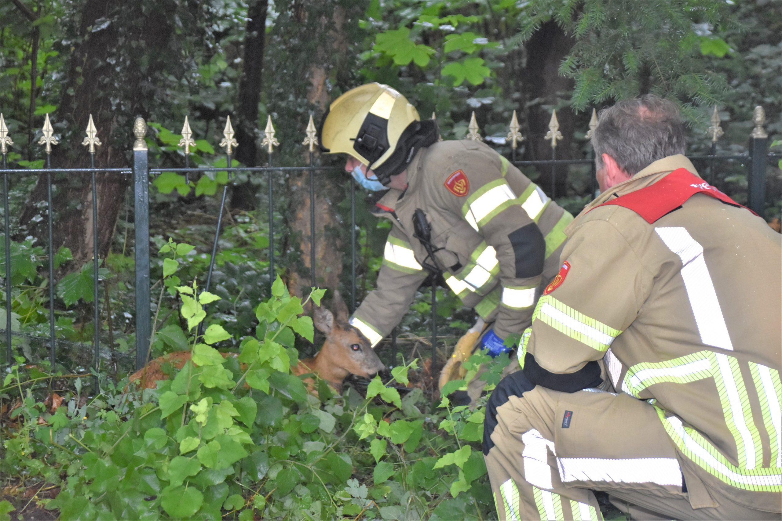 Brandweer bevrijdt reekalf uit hek